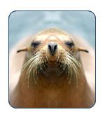 Steller Sea Lion in Alaska