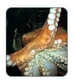 Giant Pacific Octopus in Alaska