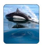 Dall Porpoise in Alaska