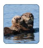Sea Otter in Alaska