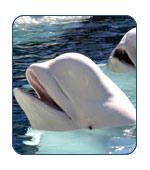 Beluga Whales in Alaska